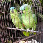 Resident Lovebirds