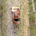 Wallington Hall Wildlife Hide - Red Squirrel