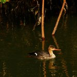 duck in the mangroves