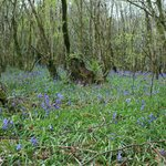 The Bluebell wood at the bottom of the hill