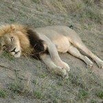 Een van de vele leeuwen die we hier hebben gezien