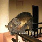 Monos en mi balcón, están libres al igual que otros animales