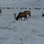 Just a few of the bull elk
