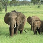 Some of the thousands of Tarangire elephants