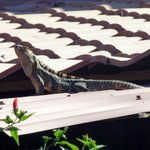 Iguana on the roof