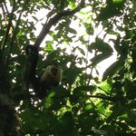 white face monkey on our tour of the Corcovado Park