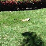 iguana at RD