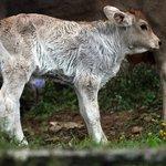 A calf nearby