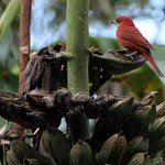 Bird on banana tree at finca