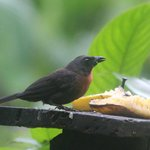 Black-cheeked ant tanager, taken from porch