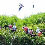 Frigate bird colony on Barbuda