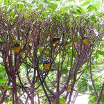 Yellow birds in bush at Topaz restaurant