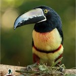 Toucans close up