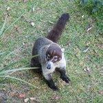A coati in the gardens