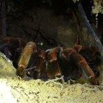 Tarantula in lair