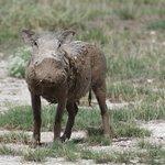 Warthog after Mud Bath!