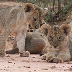 Selenkay Pride - 10 week old cubs