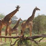 Abundance of Giraffe Everywhere