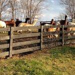 Llamas & alpacas!!