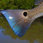 Redfish tail