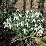 Snowdrops along the towpath