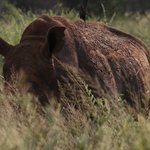Rhino seen on our game drive
