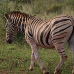 Zebra seen on our game drive