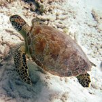 Sea Turtle on boat dive at Divi Dive Bonaire