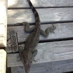 one huge iguana