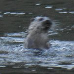 Male otter