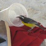 SUGARBIRD ENJOYING A PINA COLADA