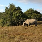 Black Rhino, endangered but well protected at Shamwari