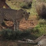 Rangers are great at finding the animals, cheeta in this case