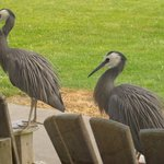 Mr and Mrs blue heron