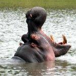 hippopotamus in the watering hole outside Arathusa Lodge