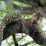 Leopard on game drive