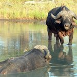 Game drive Cape Buffalo