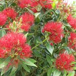 Native Rata Bush