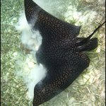 Eagle ray eating conch