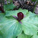Trillium in bloom