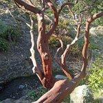 Many species of manzanita here.