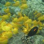 No shortage of yellow fish