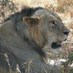 durante il safari