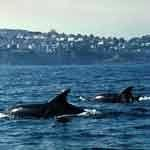 Dolphins in Torbay, local attraction