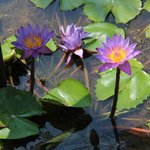 lotus flowers in the pond