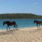 """""""Wild"""" horses on Sun Beach"""