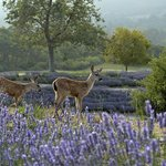 Baby deer in lavender field