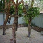 Los pobres koalas del parque de Bungalow bay aislados en ramas de mentira