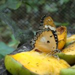Butterfly feeding on mango