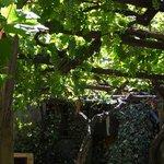 Muchos racimos de uvas